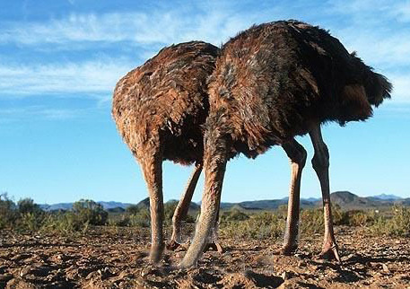 Two ostriches with heads in sand